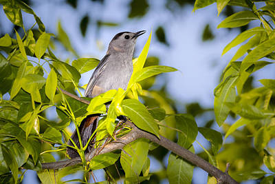 Photograph - Gray Catbird by Jack R Perry