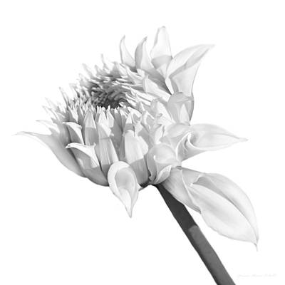 Photograph - Gray Dahlia Flower Blooming Monochrome by Jennie Marie Schell