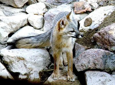 Gray Fox At The Oasis Art Print by Feva  Fotos