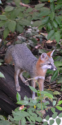 Photograph - Gray Fox I  Ip by rd Erickson