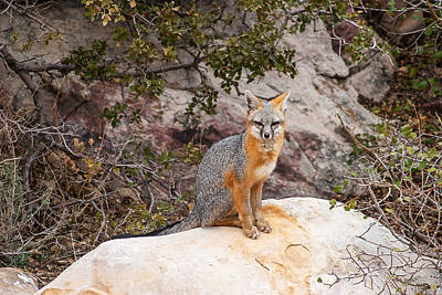 Gray Fox II Art Print by James Marvin Phelps