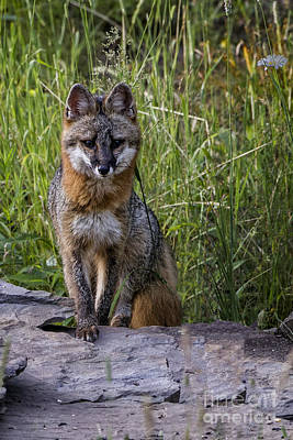 Photograph - Gray Fox Posing by Ronald Lutz