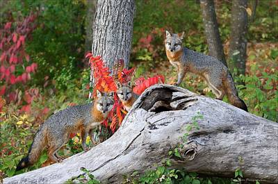 Photograph - Gray Foxes by Daniel Behm