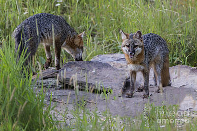 Photograph - Gray Foxes by Ronald Lutz