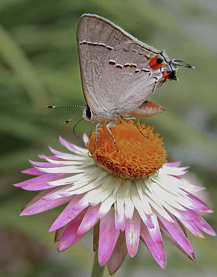 Strawflower Photograph - Gray Hairstreak And Straw Flower by David and Carol Kelly
