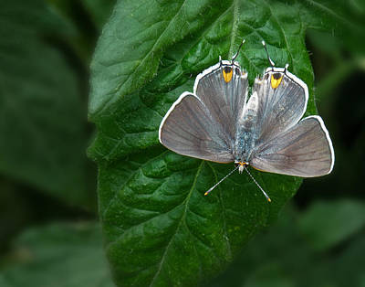 Photograph - Gray Hairstreak Butterfly by David and Carol Kelly