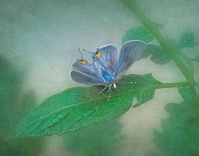 Photograph - Gray Hairstreak Butterfly II by David and Carol Kelly