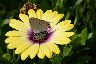 Photograph - Gray Hairstreak Butterfly  by Jeanne May
