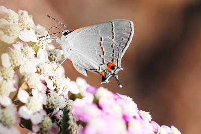 Gray Hairstreak Butterfly Print by Lorri Crossno