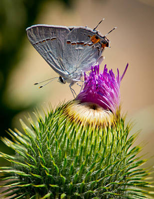 Art Print featuring the photograph Gray Hairstreak On Thistle by Janis Knight