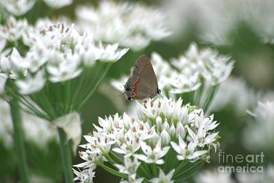 Photograph - Gray Hairstreak On White Blossoms by Living Color Photography Lorraine Lynch