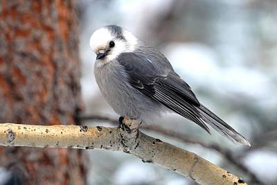 Photograph - Gray Jay - Cocked Head by Marilyn Burton
