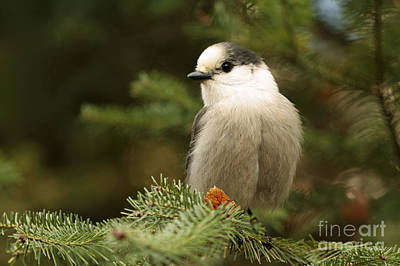 Gray Jay On An Autumn Day Art Print by Inspired Nature Photography Fine Art Photography