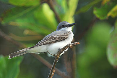 Photograph - Gray Kingbird by Alan Lenk