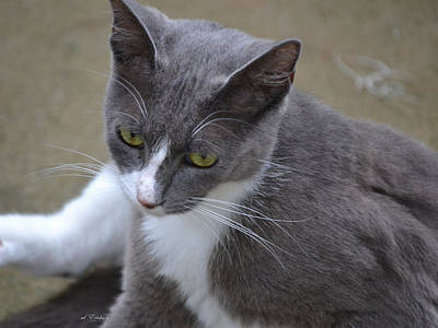 Photograph - Gray Kitty - Stray Kitty by rd Erickson