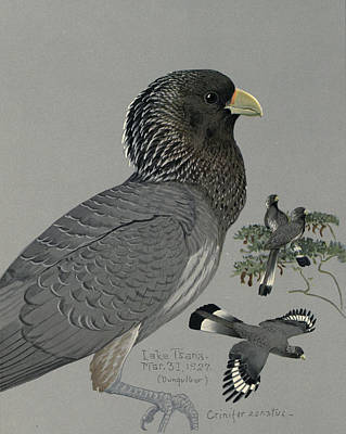 African Wild Birds Painting - Gray Plantain Eater by Rob Dreyer