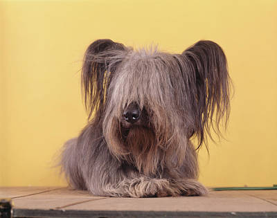 Scottish Terrier Wall Art - Photograph - Gray Shaggy Dog A Skye Terrier Lying by Animal Images