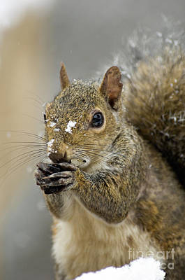 Photograph - Gray Squirrel - D008392  by Daniel Dempster