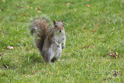 Photograph - Gray Squirrel by David Grant