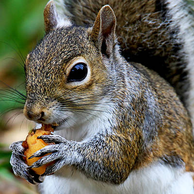 Photograph - Gray Squirrel by Ira Runyan