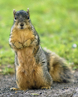 Photograph - Gray Squirrel by Tom Zachman