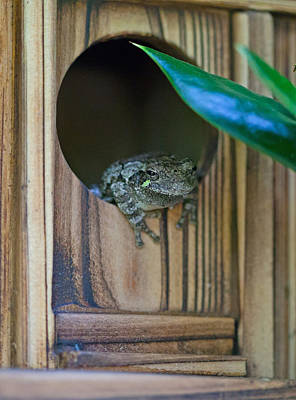 Photograph - Gray Tree Frog by Melinda Fawver