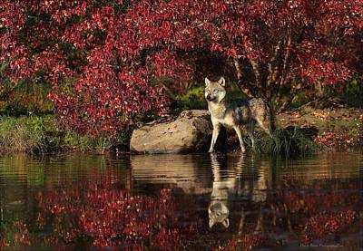 Gray Wolf At Waters Edge Art Print by Daniel Behm