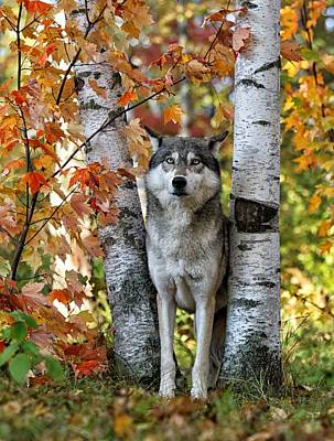 Photograph - Gray Wolf Between Aspens by Daniel Behm