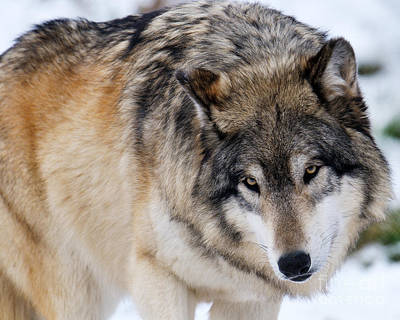 Photograph - Gray Wolf by Craig Leaper