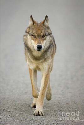 Photograph - Gray Wolf Denali National Park Alaska by Yva Momatiuk John Eastcott
