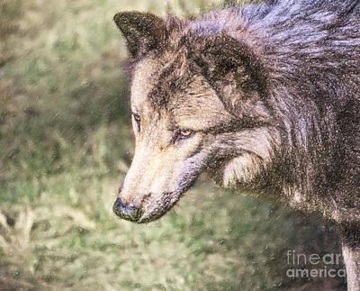 Animals Digital Art - Gray Wolf Grey Wolf Canis Lupus by Liz Leyden
