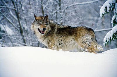 Gray Wolf In Snow, Montana, Usa Art Print by Panoramic Images