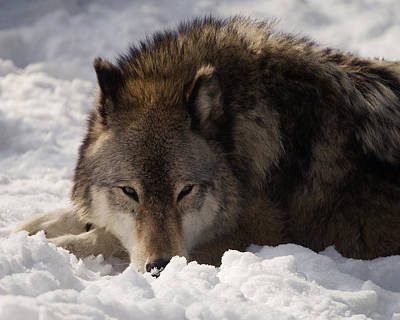 Animals Photos - Gray Wolf in Snow by Stephanie McDowell