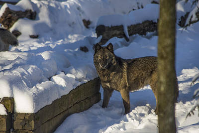 Photograph - Gray Wolf In The Snow by Jay Huron