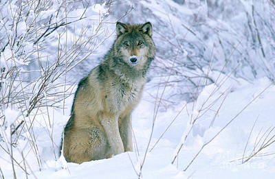 Photograph - Gray Wolf by Jeffrey Lepore