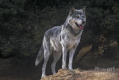Photograph - Gray Wolf On Hillside Endangered Species Wildlife Rescue by Dave Welling