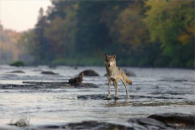 Photograph - Gray Wolf On Kettle River by Daniel Behm