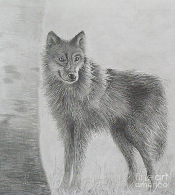 Drawing - Gray Wolf by Phyllis Howard