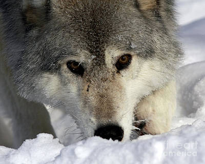 Gray Wolf Playing In The Snow Art Print by Inspired Nature Photography Fine Art Photography
