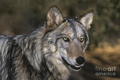 Photograph - Gray Wolf Portrait Endangered Species Wildlife Rescue by Dave Welling