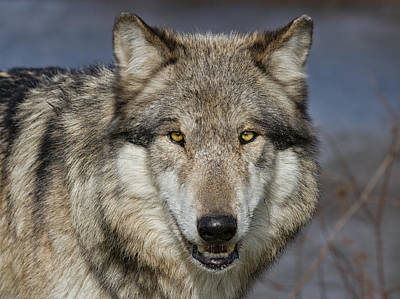Wolf Photograph - Gray Wolf Portrait by Martin Belan