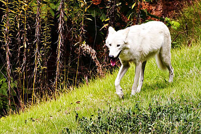 Photograph - Gray Wolf by Walter Herrit