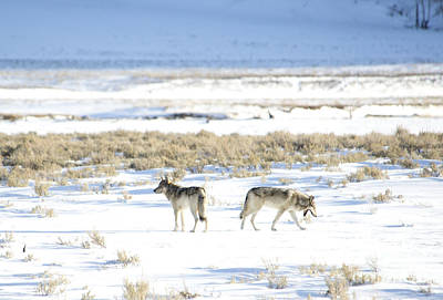 Photograph - Gray Wolves Of Yellowstone by Deby Dixon