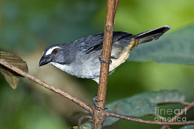 Ecuadorean Fauna Photograph - Grayish Saltator by Anthony Mercieca