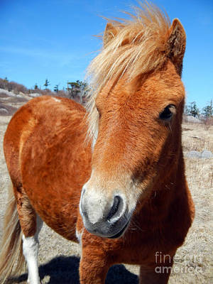 Photograph - Grayson Highlands Wild Pony by Glenn Gordon