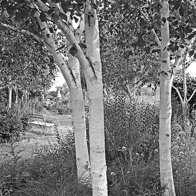 Photograph - Grayswood Ghost - Himalayan Birch Black And White by Gill Billington