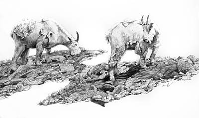Mountain Goat Drawing - Grazing by Aaron Spong
