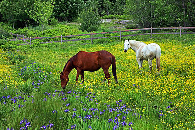 Maine Farms Photograph - Grazing Amongst The Wildflowers by Karol Livote