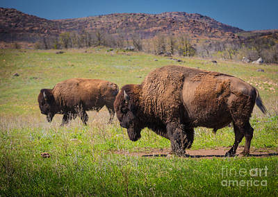Wichita Photograph - Grazing Bison by Inge Johnsson