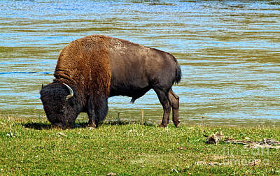 Photograph - Grazing Bison by Stuart Gordon